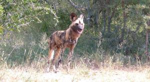 sensations-voyage-afriquedusud-safari-kruger-wilddog