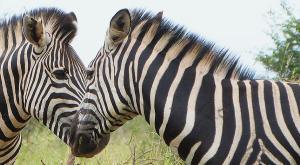 sensations-voyage-afriquedusud-safari-kruger-zebres-love