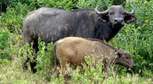 sensations-voyage-album-photos-kenya-aberdades-national-park-buffalo-treetops-7