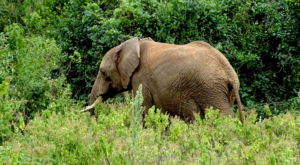 sensations-voyage-album-photos-kenya-aberdades-national-park-elephant-treetops-4