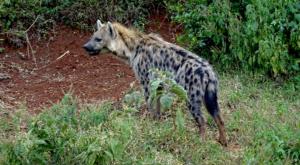 sensations-voyage-album-photos-kenya-aberdades-national-park-hyna-treetops