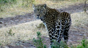 sensations-voyage-album-photos-kenya-aberdades-national-park-mont-kenya-safari-treetops-leopard-2