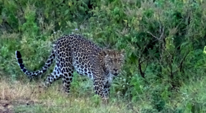 sensations-voyage-album-photos-kenya-aberdades-national-park-mont-kenya-safari-treetops-leopard-3