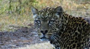 sensations-voyage-album-photos-kenya-aberdades-national-park-mont-kenya-safari-treetops-leopard-portrait