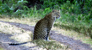 sensations-voyage-album-photos-kenya-aberdades-national-park-mont-kenya-safari-treetops-leopard