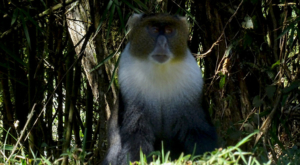 sensations-voyage-album-photos-kenya-aberdades-national-park-mont-kenya-safari-treetops-monkey-blase