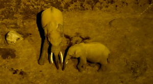 sensations-voyage-album-photos-kenya-aberdades-national-park-treetops-lodge-elephants-drinking-by-night-6