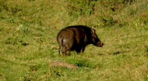 sensations-voyage-album-photos-kenya-aberdades-national-park-treetops-wildpig