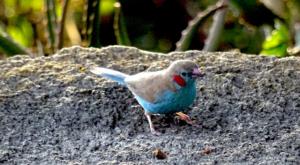sensations-voyage-album-photos-kenya-blue-bird-naivasha-loldia