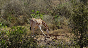 sensations-voyage-album-photos-kenya-drinking-giraffe