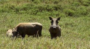 sensations-voyage-album-photos-kenya-safari-hells-gate-phacochere-pumba