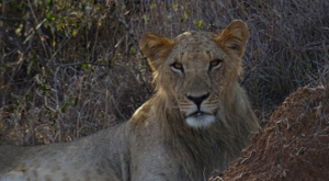 sensations-voyage-album-photos-kenya-sosian-lion-king