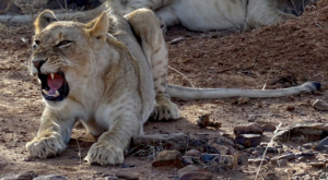 sensations-voyage-album-photos-kenya-sosian-lion-open-mouth