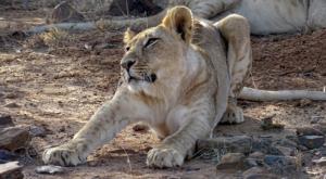 sensations-voyage-album-photos-kenya-sosian-lion-streching