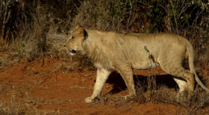 sensations-voyage-album-photos-kenya-sosian-lion-walking