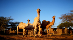 sensations-voyage-album-photos-kenya-sosian-ranch-dromadaires-camel