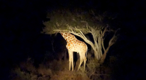 sensations-voyage-album-photos-kenya-sosian-ranch-giraffe-night-safaril
