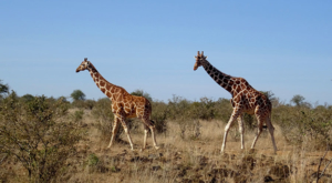 sensations-voyage-album-photos-kenya-sosian-ranch-giraffes-safari