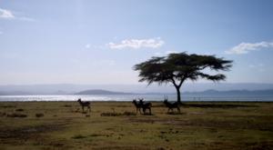 sensations-voyage-album-photos-kenya-walking-safari-naivasha-giraffe-crescent-island-3