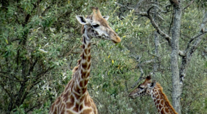 sensations-voyage-album-photos-kenya-walking-safari-naivasha-giraffes-1
