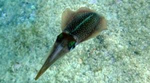 sensations-voyage-destination-guadeloupe-snorkeling-calamar-les-saintes