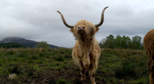 sensations-voyage-ecosse-highlands-highland-cow-cows-vaches-1