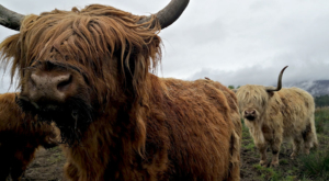 sensations-voyage-ecosse-highlands-highland-cow-cows-vaches-chevelues