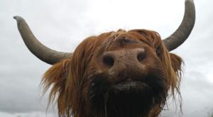 sensations-voyage-ecosse-highlands-highland-cow-cows-vaches-smile-portrait