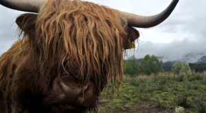 sensations-voyage-ecosse-highlands-highland-cow-cows-vaches-smile