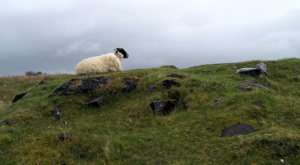 sensations-voyage-ecosse-ile-skye-island-mouton