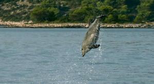 sensations-voyage-sensationsvoyage-croatia-dolphin-watch-pakostane-saut-dauphin-1