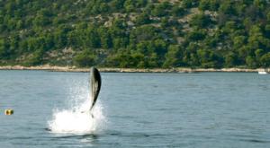 sensations-voyage-sensationsvoyage-croatia-dolphin-watch-pakostane-saut-dauphin-2
