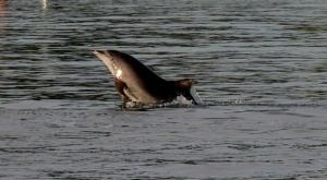 sensations-voyage-sensationsvoyage-croatia-dolphin-watch-pakostane-saut-dauphin-3