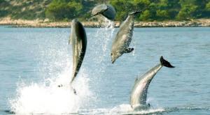 sensations-voyage-sensationsvoyage-croatia-dolphin-watch-pakostane-saut-dauphin-4-1