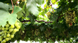 sensations-voyage-sensationsvoyage-croatia-raisin-vigne