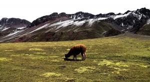 sensations-voyage-sensationsvoyage-perou-peru-cusco-cuzco-rainbow-alpaga