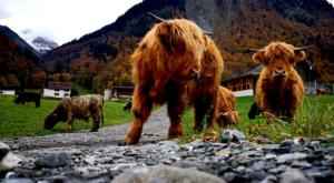 sensations-voyage-voyage-photos-suisse-lucerne-luzern-highland-cows