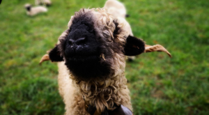 sensations-voyage-voyage-photos-suisse-valais-zermatt-black-nose-sheep-2