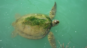 sensations-voyage-voyages-photos-guyane-tortue2