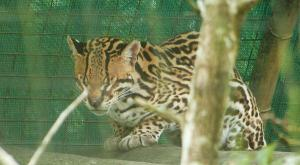 sensations-voyage-voyages-photos-guyane-zoo-macouria-felin