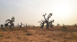 sensations-voyage-voyages-senegal-desert-baobab