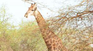 sensations-voyage-voyages-senegal-girafe