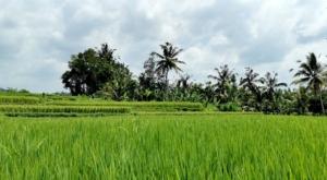 sensations voyage photos indonesie java bali rizieres-ubud ricefields