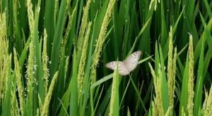 sensations voyage photos indonesie java bali rizieres-ubud ricefields papillon