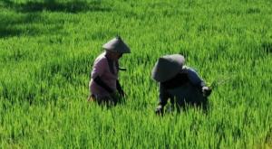 sensations voyage photos java banyuwangi rice fields