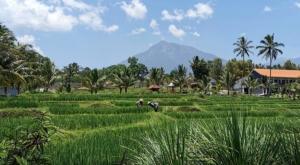 sensations voyage photos java banyuwangi rice fields 3