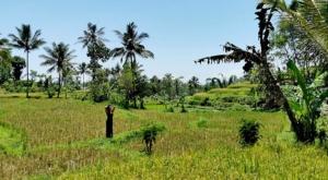 sensations voyage photos java banyuwangi rice fields sam