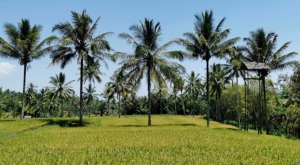 sensations voyage photos kawah ijen green-life-coconut trees