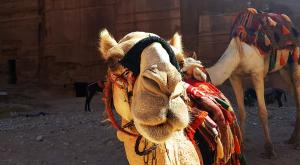 sensationsvoyage-sensations-voyage-jordanie-jordan-photos-petra-dromadaire-camel