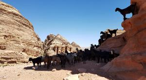 sensationsvoyage-sensations-voyage-jordanie-jordan-photos-petra-panorama-chevres